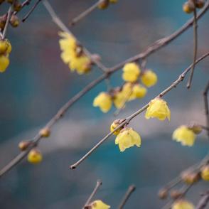 Chimonanthus Flowers
