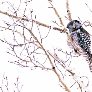 Northern Hawk Owl ChipabirdeeImages_MarilynGrubb_3277