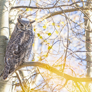 Great Horned Owl ChipabirdeeImages_MarilynGrubb_-0275