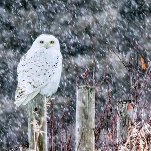 Snowy Owl Fencepost ChipabirdeeImages_MarilynGrubb_-7534