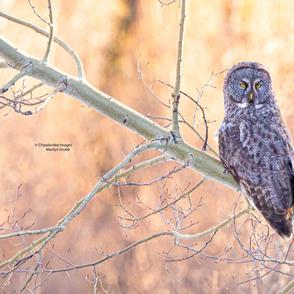 Great Grey Owl Sunset ChipabirdeeImages_MarilynGrubb_-7877
