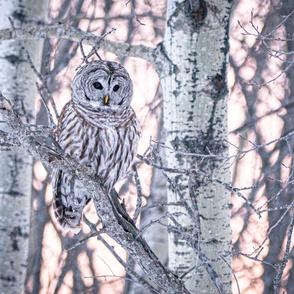 Barred Owl _ ChipabirdeeImages_MarilynGrubb_-6170