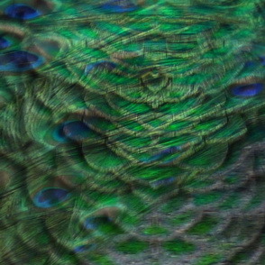 peacock blur