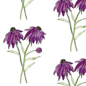 purple coneflowers family