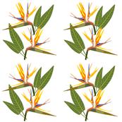Birds of Paradise - Tropical Strelitzia #1 White, large