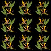 Birds of Paradise - Tropical Strelitzia #1 Black, medium