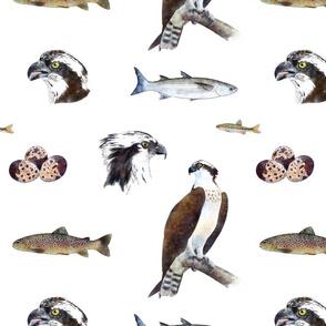 Osprey - the fish eagle