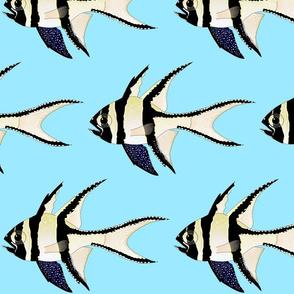 Banggai Cardinalfish on light blue