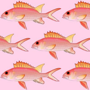 Squirrelfish on pink
