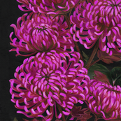 Chrysanths Nuit wallpaper design in Cerise