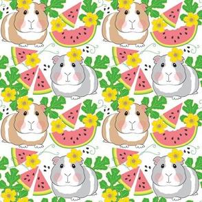 medium guinea pigs in a watermelon patch