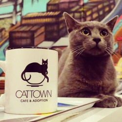 First Cat Cafe Opens in the U.S.
