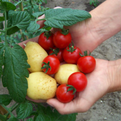 How to Grow French Fries and Ketchup In Your Backyard
