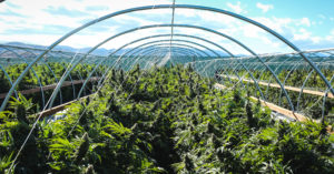 Photo courtesy of marijuanaventure.com