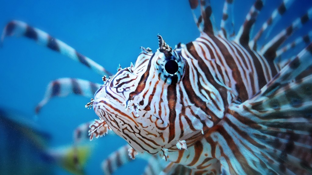 http://uva.spoonuniversity.com/wp-content/uploads/sites/65/2014/12/llionfish-wallpaper-hd-wallpaper-1024x576.jpg