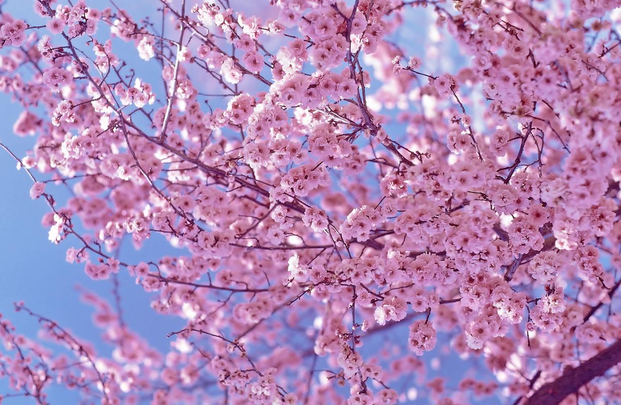 Cherry Blossom Inspire...