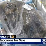This LA Supermarket Was Selling Raccoon Meat and it's Totally Legal