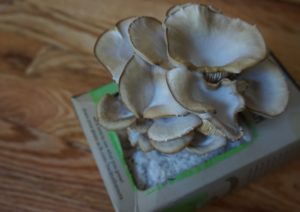 How to Grow Your Own Oyster Mushrooms in Your Apartment