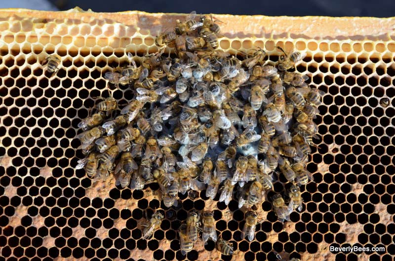 Image result for honey bees huddling in hive pictures