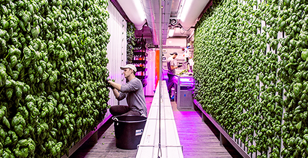 Square Roots indoor controlled climate farms are less susceptible to pests and pathogens than outdoor farms.