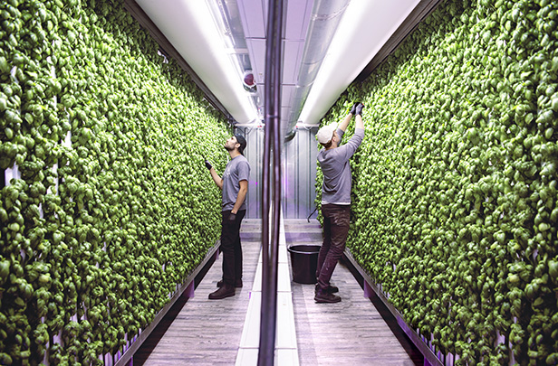 Square Roots Next-Gen Farmers harvesting basil inside a Square Roots Brooklyn vertical indoor farm.