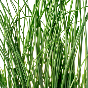 Square Roots Chives