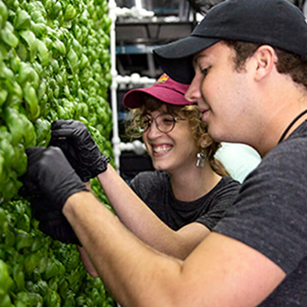 Two farmers harvesting basil inside Square Roots' indoor vertical farms.
