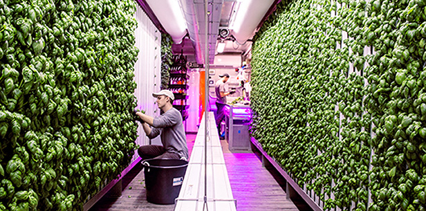 Inside a Square Roots Climate Container, replicating optimum growing conditions, all year round,