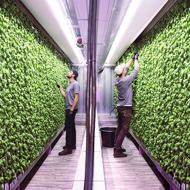 Square Roots Next-Gen Farmers harvesting basil inside a Square Roots vertical indoor farm.