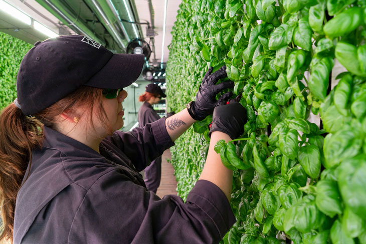 Alyssa Patton, Square Roots Next-Gen Farmer, harvesting fresh, local basil inside a Climate Container in Grand Rapids, Michigan.