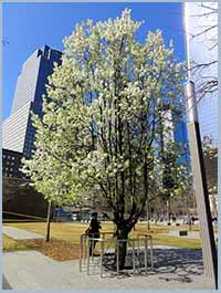 9-11 survivor tree