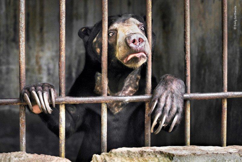 Wildlife photographer of the year, oso de circo