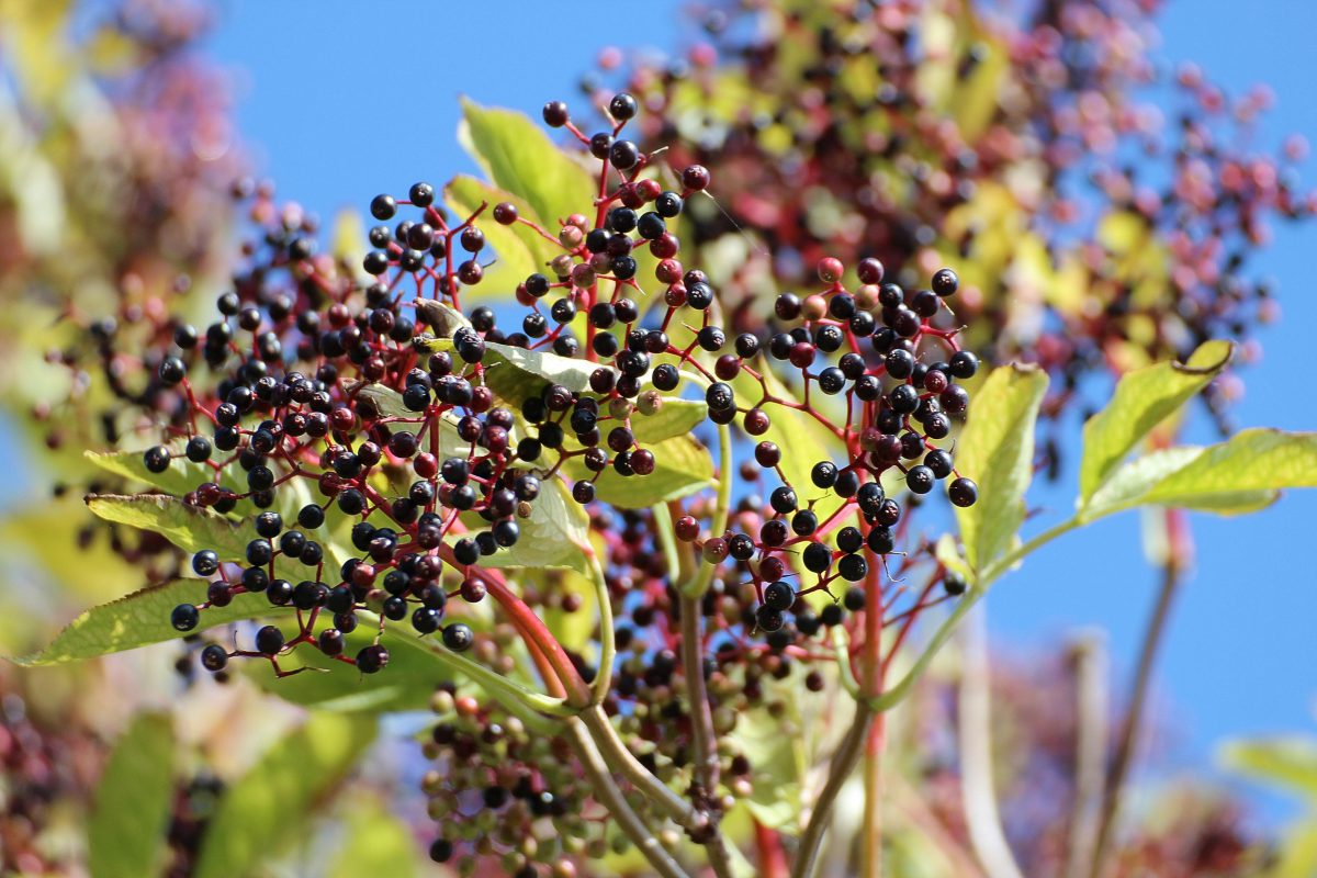 Find out what an Elderberry is and how the heck you use them!