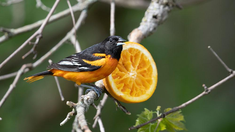 bird and an orange
