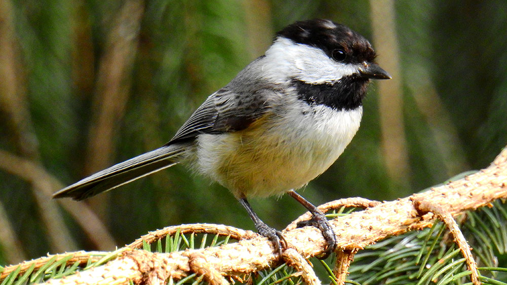 Learn about Cheery Chickadees