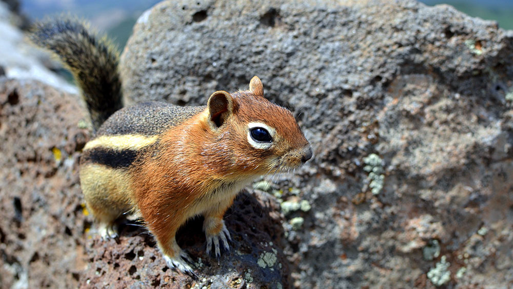 How to Deal with Chipmunks at the Cabin
