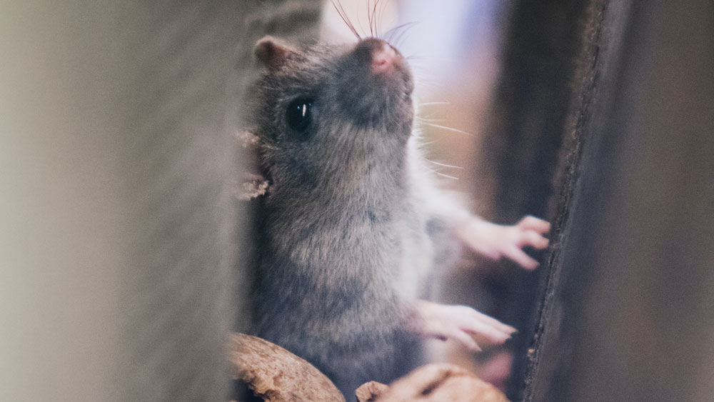 Mice at the Cabin: Winter Pest Control