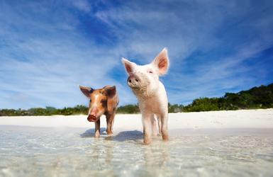 Pig beach grand bahama2