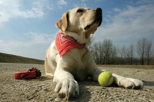 dog tennis ball golden retriever