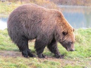 1338126_brown_bear_4-2