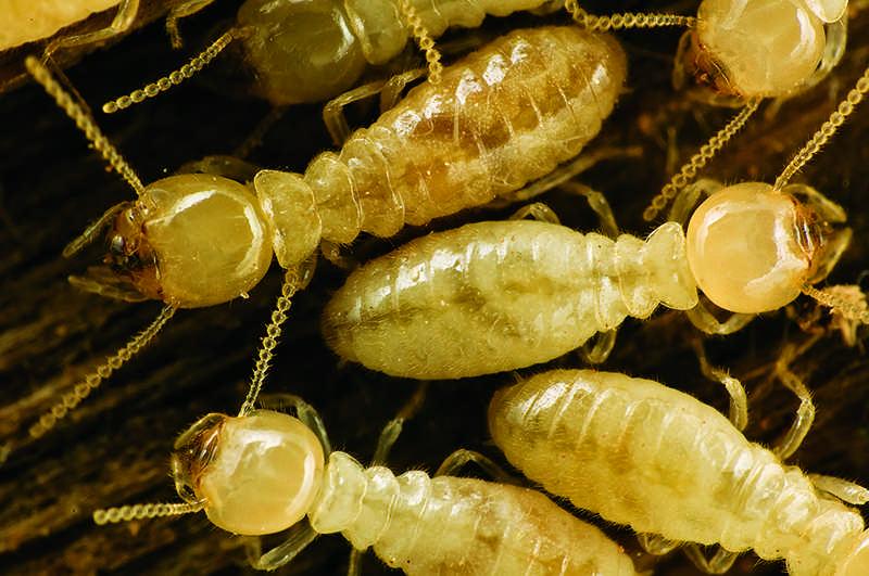 warding off log home pests termites