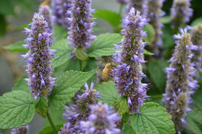 CBN-TA0413_lavender