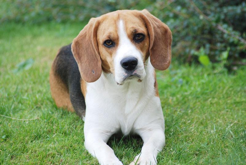 CBN-D0514_beagle