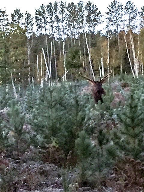 bull-elk-2