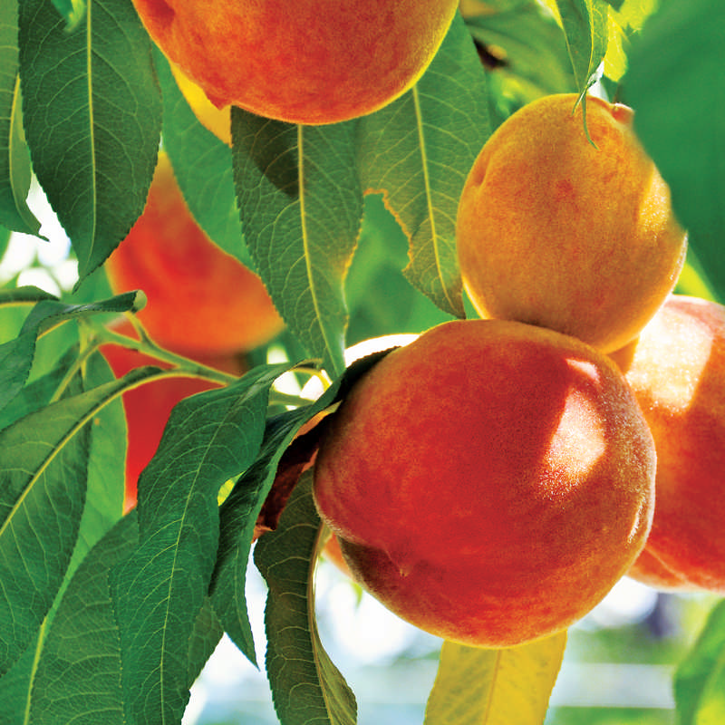 peaches-in-tree
