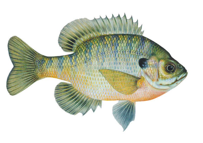Bluegill-fall-male-big