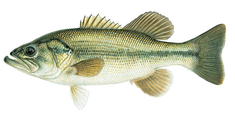Largemouth-bass-2000