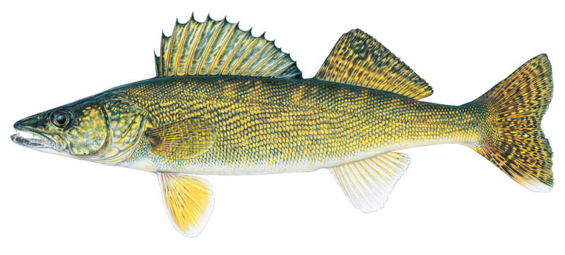 Walleye-male