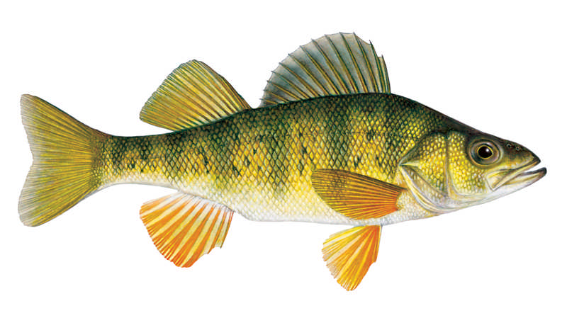 Yellow-perch-male