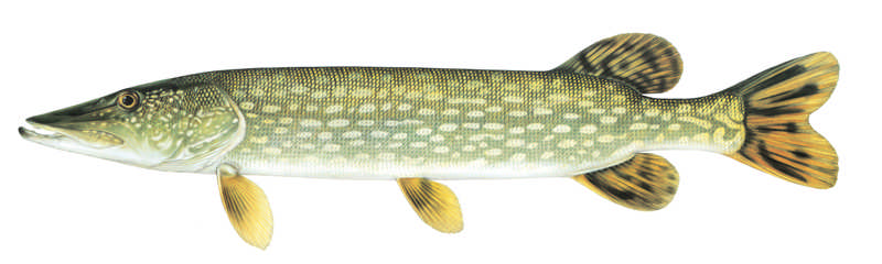 northern-pike-small